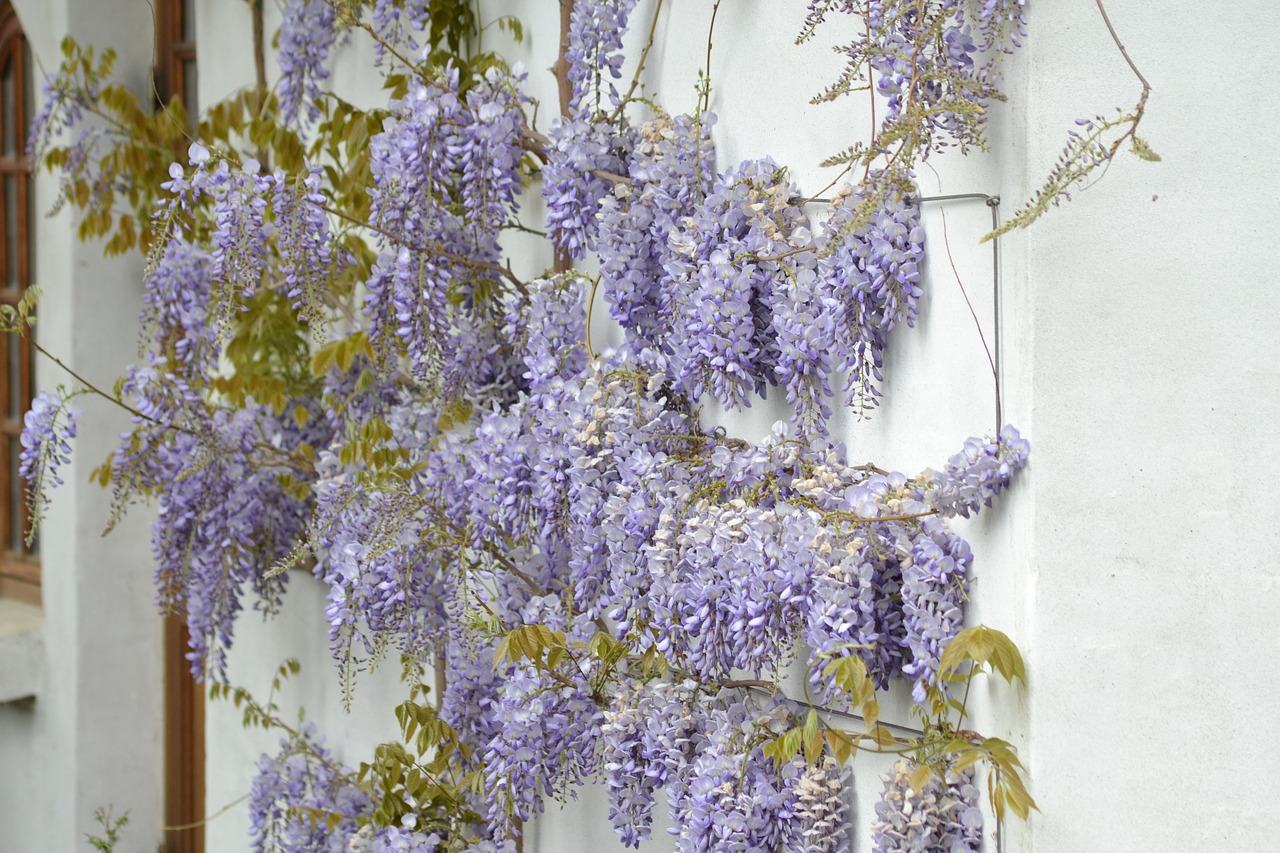 wisteria-1287888_1280